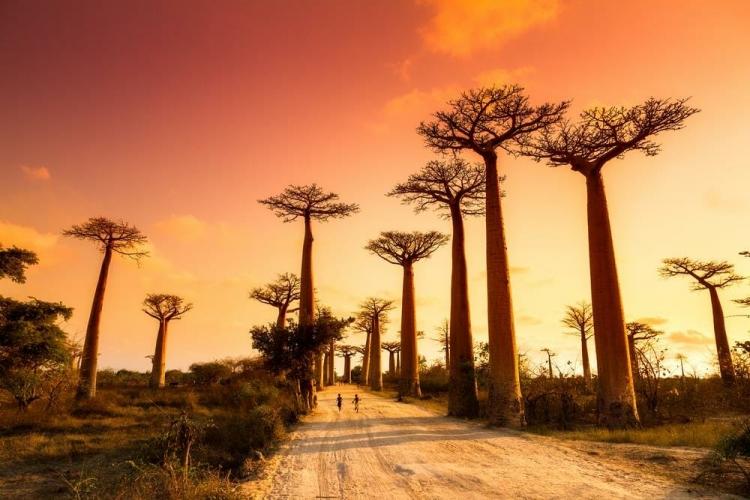 Le coucher du soleil sur l'Allée des Baobabs